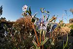 Australian desert wildflowers - Cattle or Camel Bush (Trichodesma zeylanicum)