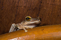 Common Tree Frogs (Polypedates leucomystax) are often found in the guest living quarters in the Tmatboey Community Protected Area.  (Tmatboey, Cambodia)