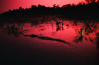A 12-foot bull alligator glides through reflective waters on a sultry summer evening in the Okefenokee National Wildlife Refuge. <br />