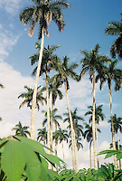 Cuban Royal Palms and Yuca