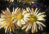 Chrysanthemum Mary Stoker in yellow flower