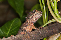 Brown Basilisk Lizard (Basiliscus vittatus), Captivity.