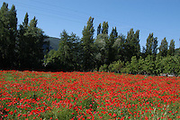 Campo di papaveri. Field of poppies