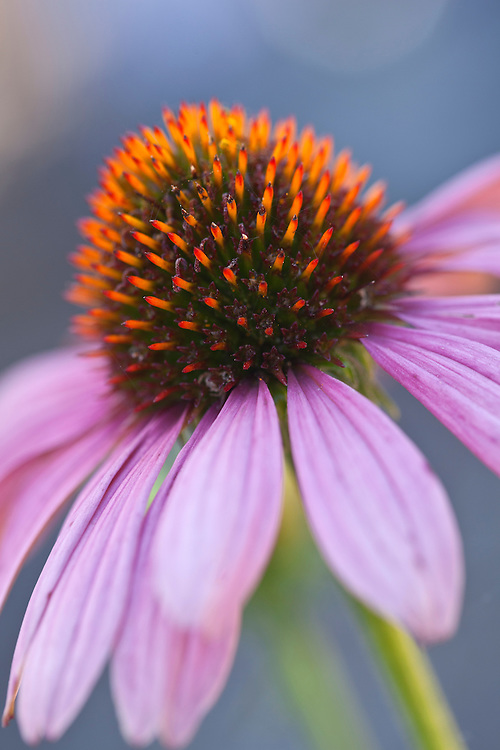 Close-up of purple coneflower (Echinacea purpurea)