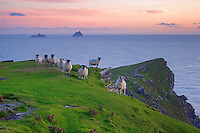 Irish Landscape Sunset at Valentia Island Cliffs with sheep and view on the great skellig from Bray Head, County Kerry Iveragh Peninsula Southwest Ireland / vl074 I love the Skelligs,