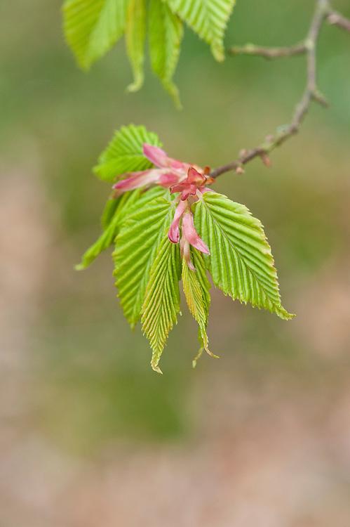 New spring foliage of loose-flowered hornbeam (Carpinus laxiflora var. macrostachya syn. C. viminea), mid April.