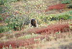 Grizzly bear, Arctic National Wildlife Refuge, Alaska, USA