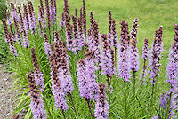 Perennial Liatris in summer flower showing many spikes of lavender colored fluffy blooms