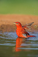 580980042 a wild male summer tanager pitanga rubra bathes in a small pond on the laguna seca ranch in the rio grande valley of south texas