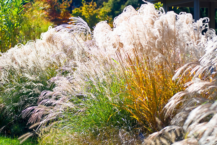 Ornamental grasses in autumn including Miscanthus sinensis 'Graziella'