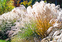 Ornamental grasses in autumn including Miscanthus sinensis 'Graziella&rsquo;