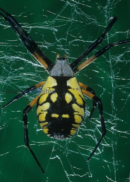Golden or Black-and-Yellow Argiope Spider (Argiope aurantia), North America.