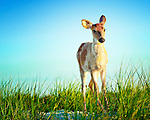 Deer*