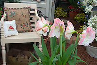 Amaryllis Apple Blossom bulb in bloom in pot in house setting with chair and pillows