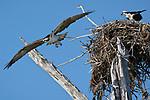 Osprey, at nest, Lover's Key State Park, Florida