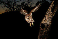A Northern Saw Whet Owl in flight as it leaves a nest cavity at dusk.