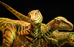 A trio of Utahraptors, lightly-built carnivors, which roamed the earth about 126 million years ago, have been brought back to life via truck batteries, hydraulics and puppeteers in the Tacoma Dome in Tacoma, Washington on July, 11, 2007.  The 90-minute show, Walking with Dinosaurs - The Live Experience, based on the award-winning BBC Television series kicked off it's seven city Summer tour in the U.S. and Canada.(© 2007 Jim Bryant Photography).