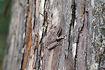 The pine woods tree frog blends into its environment.