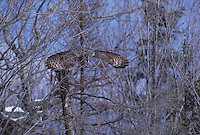 Great Gray Owl, Strix nebulosa, in flight; UP Michigan