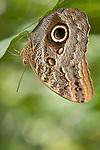 La Guacima de Alajuela, Costa Rica; an Owl Butterfly (Caligo eurilochus) hangs suspended upside down, wings folded, from a leaf , Copyright © Matthew Meier, matthewmeierphoto.com All Rights Reserved