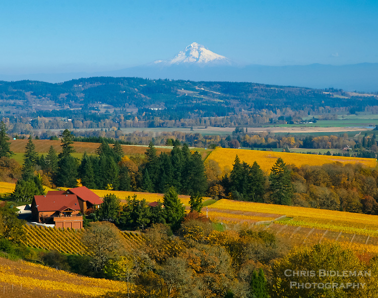 A fall view of Mt Hood across the Willamette Valley, OR in fall.  The yellow of the grapevines in the vineyards can be seen across the valley with a house in the foreground.