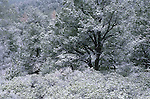 Pinyon pine and manzanita in snow, winter, Sitgreaves National Forest, Arizona