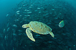 Green turtle (Chelonia mydas)  with schooling jacks (Cranax sexfasciatus).