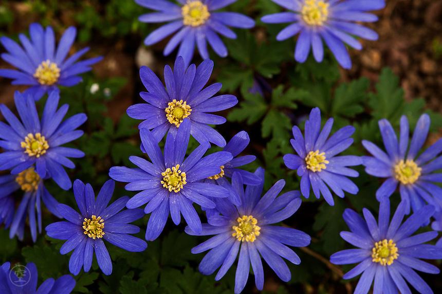 Flowering blue-purple anemone (Anemone blanda) in spring in Cambridgeshire.