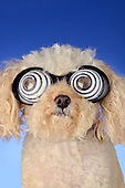 Poodle mix with hypnotic glasses