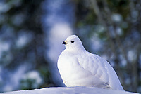 Willow Ptarmigan in winter white plumage, Brooks range, Alaska.