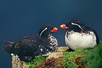 506790362 a wild pair of parakeet auklets cyclorrhynchus putittacula a small pelagic bird perch together on a sheer cliff face on st george island in the pribiloff islands off alaska