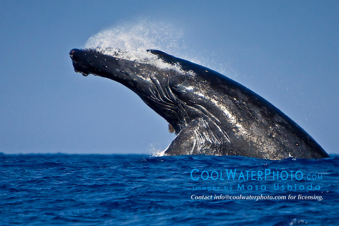 humpback whale, Megaptera novaeangliae, head-lunging breach, Hawaii, USA, Pacific Ocean