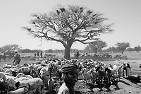 Sinet, Sudan-Tchad border, June 19, 2004.Shepherds brought their cattle to a big wadi with several wells; for hours on end, under a blazing heat, they pull heavy buckets to give the precious water to their animals.
