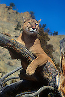 656326150 a captive mountain lion felis concolor watches over his domain from a large tree branch in central montana
