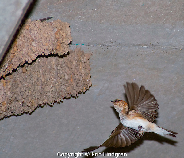 Fairy Martin approaches its nest - Brisbane, Australia.  // Fairy Martin - Hirundinidae: Petrochelidon ariel. Length to 12cm, wingspan to NNcm, weight to 11g. Occurs throughout Australia as a resident or nomad. Feeds upon insects caught in the air. Usually found near water. Nesting colonies may contain a few or hundreds of the characteristic bottle-shaped nests made from mud pellets, placed in an overhang of some sort - under bridges, in culverts, in a shallow cave, under buildings, under eaves of buildings. Nomadic to southern Australia and southern New Guinea. Similar to the Tree Martin (P. nigricans), but has a rusty head, clean white rump and underparts, and a pipit-like churring call. IUCN Status: Least Concern.  //Eric Lindgren//