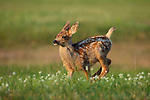 Mule Deer fawn running in field of flowers