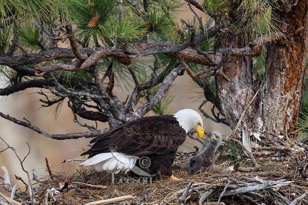 Bald Eagle Nest (Haliaeetus leucocephalus)--adult with young eaglet in tall ponderosa pine tree.  Oregon.  April.