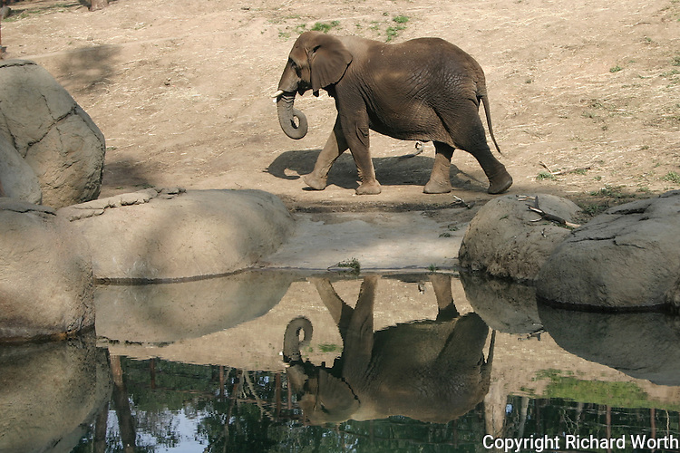 An elephant and its reflection at the Oakland Zoo, Oakland, California.