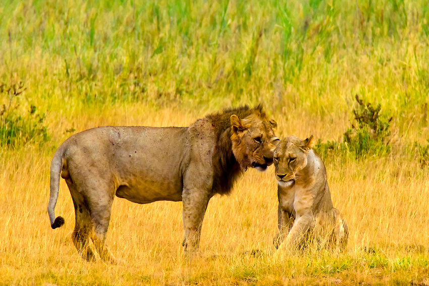 Lion and lioness mating, Amboseli National Park, Kenya