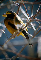 BIRDS<br /> Evening Grosbeak<br /> Hesperiphora vespertina Flagstaff, AZ