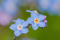 Forget-me-not (Myosotis ?) wildflower.  Pacific Northwest.