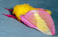 Rosy Maple Moth (Dryocampa rubicunda), Mount Pisgah Recreation Area, Blue Ridge Parkway, North Carolina, USA