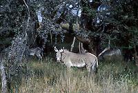 699408001 wild grevys zebra equus grevyi foraging in small thornbush forest in serengeti national park in tanzania