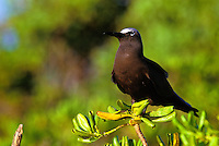 The brown noddy or noio koha, (anous stolidus pileatus). Nests on offshore inlets and the northwest Hawaiian island chain.