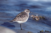 Black-bellied Plover (Pluvialis squatarola) San Diego, California, USA