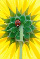 Seven-spotted Ladybug (Coccinella septempunctata), adult perched on sunflower, Dinero, Lake Corpus Christi, South Texas, USA