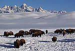 A group of bison forages for food, backdropped by the Tetons in Grand Teton National Park, Wyoming.
