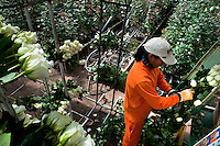 A worker sorts the white roses at a flower farm in Cayambe, Ecuador, 23 June 2010. South American countries (Colombia and Ecuador) are world leaders in cut flower industry. The advantage of the moderate sunny climate, very cheap labor force in combination with the absence of social laws and environmental regulations have created perfect conditions for the cut flower production. Flower growing is very fragile and necessarily depends on irrigation and chemical maintenance, provided by highly toxic pesticides. About 50.000 workers in Ecuador, working mainly for living minimum wage, keep the floral industry going and saturate the market generated by consumerist culture the US, Canada and Europe.