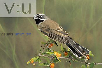 Black-throated Sparrow (Amphispiza bilineata), Arizona, USA.