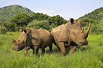 White rhino, Ceratotherium simum, with calf in Pilanesberg game reseeve, North West Province, South Africa